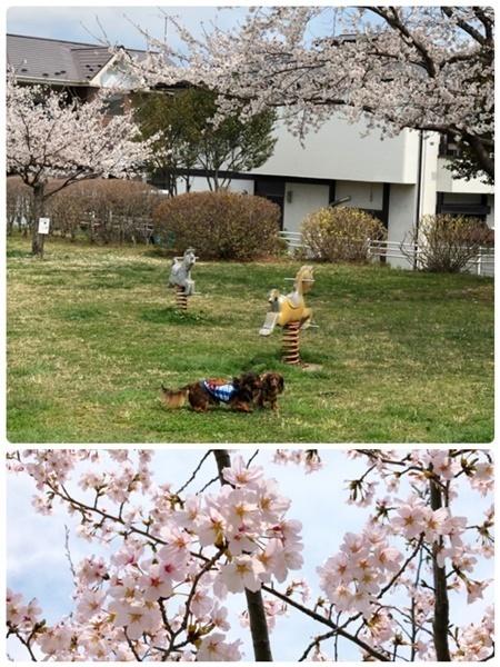 エイトはる桜1.JPG