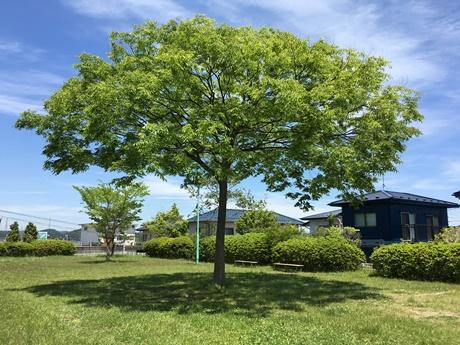 大きな木1.JPG